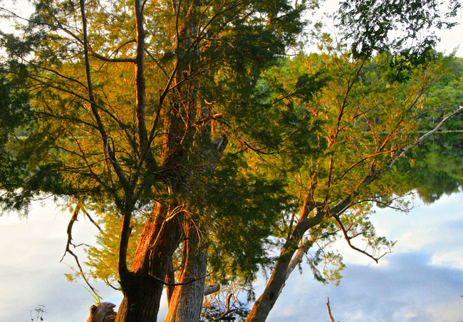 Tasmania_Huon_Pine